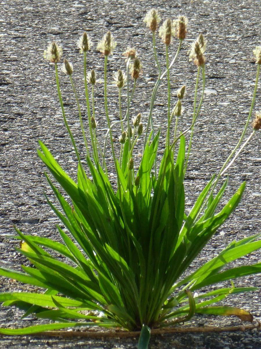 Spitzwegerich | Pronatura Bioshop